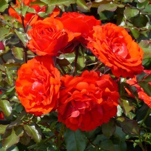 Rosier Buisson  Remembrance ® - Rosa (x) floribunda