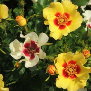 Rosier Cream Babylon Eyes ® - Rosa (x) persica