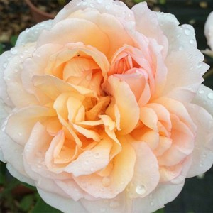 Rosier David Austin The Lady Gardener® - Ausbrass