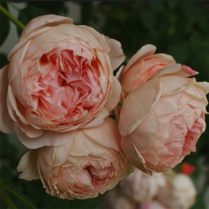 Rosier David Austin William Morris® - Auswill