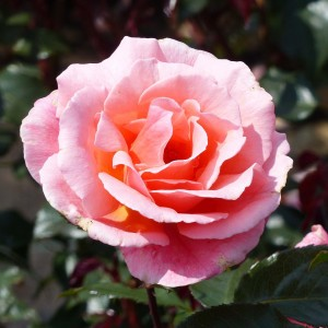 Rosier Fragrant Delight - Rosa (x) floribunda