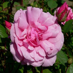 Rosier Grimpant Cecile brunner - Rose ancienne