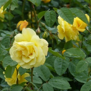 Rosier Grimpant Golden Gate ®