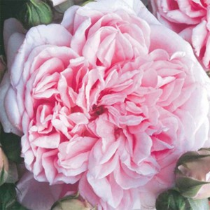 Rosier Grimpant Times Past - Rose anglaise.