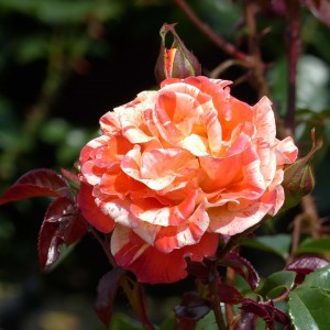 Rosier Oranges and Lemons - Rosa (x) floribunda