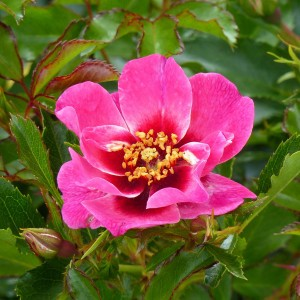 Rosier Queen Babylon Eyes - Rosa (x) persica