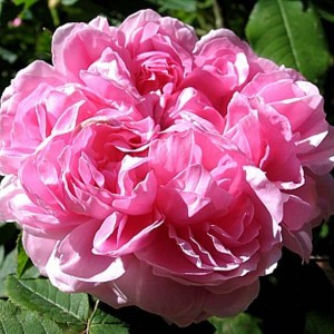 Rosier ancien Jacques Cartier - Rosa (x) Portland