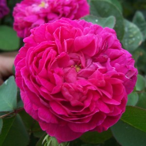 Rosier ancien Rose de Rescht - Rosa (x) damascena