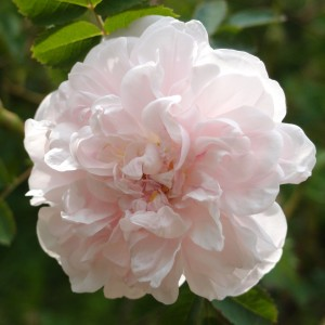 Rosier ancien Stanwell Perpetual - Rosa (x) pimpinellifolia