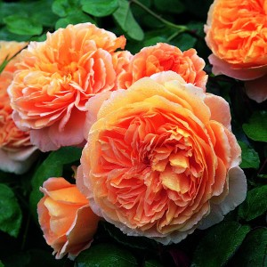 Rosier anglais Crown Princess Margareta® - Auswinter