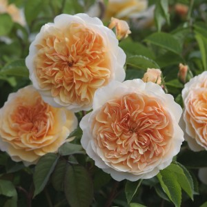 Rosier anglais David Austin Port Sunlight® - Auslofty