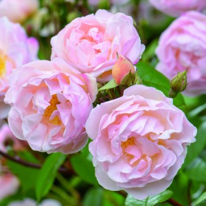 Rosier anglais The Lady of the Lake® - Ausherbert