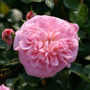 Rosier grimpant May Queen - Rose ancienne