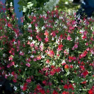 Sauge, Salvia microphylla Hot Lips en godet
