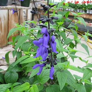 Sauge arbustive - Salvia guaranitica Black and Blue1