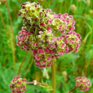 Sanguisorba minor - Petite Pimprenelle