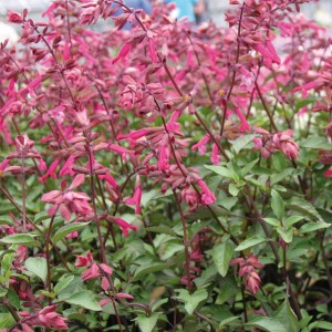 Sauge Wendy's Wish - Salvia hybride
