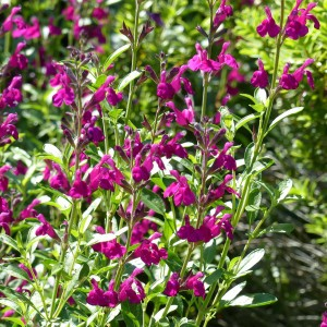 Sauge arbustive - Salvia jamensis Raspberry Royal
