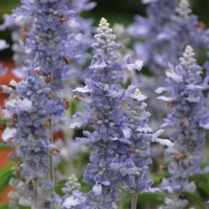 Sauge farineuse Light Candle - Salvia farinacea