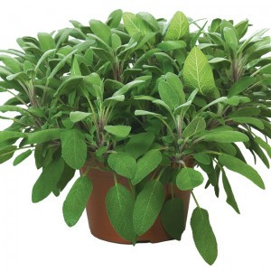 Sauge officinale Grower's Friend BIO en plants - Salvia officinalis