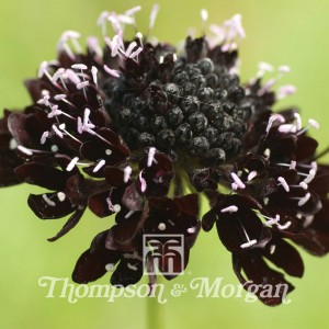 Scabious Ace Of Spades