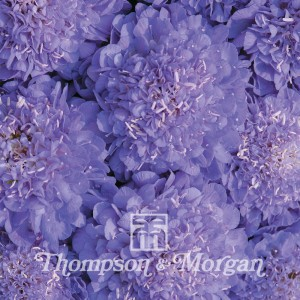 Scabious Oxford Blue