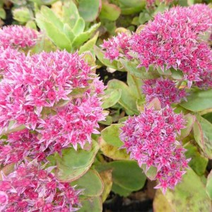 Sedum Tropical Night - Orpin d'automne.