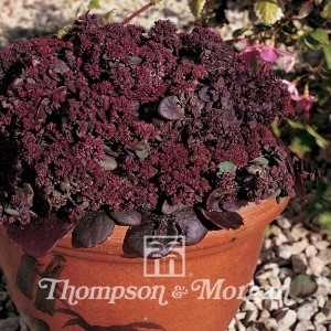 Sedum Ussuriense Turkish Delight