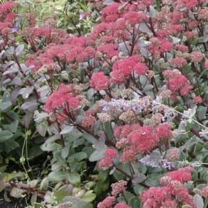 Sedum Red Cauli - Orpin