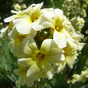 Sisyrinchium striatum - Bermudienne striée