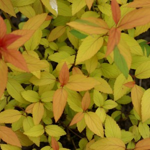 Spirée japonaise Magic Carpet - Spiraea japonica
