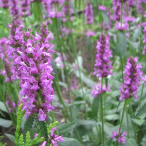Stachys officinalis - Bétoine officinale