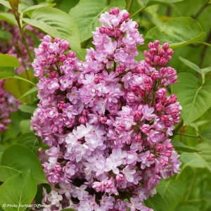 Lilas - Syringa vulgaris Belle de Nancy