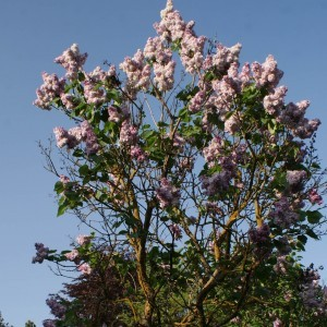 Lilas - Syringa vulgaris Katherine Havemeyer