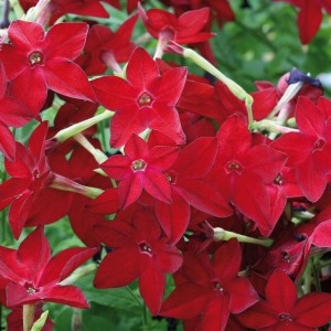 Tabac d'ornement Cuba Red Bright - Nicotiana