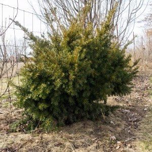 Taxus media Densiformis - If hybride