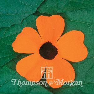 Thunbergia Alata Superstar Orange