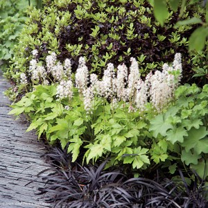 Tiarella Crow Feather - Tiarelle hybride