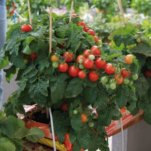 Tomate Balconi Red F1 en plants - Lycopersicon esculentum