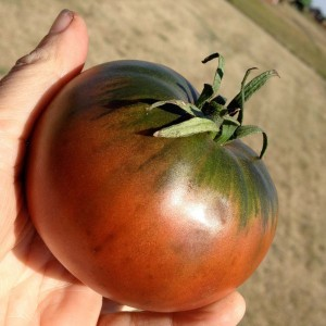Tomate Cherokee Purple en plants