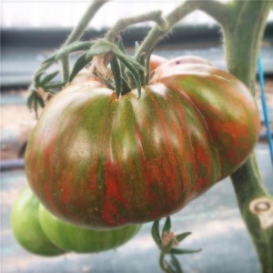 Tomate Chocolate Stripes NT - Ferme de Sainte Marthe