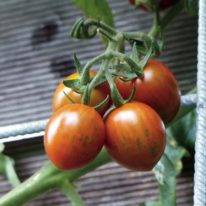 Tomate Cookie F1 en plants greffés