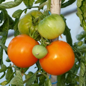 Tomate Orange Queen en plants