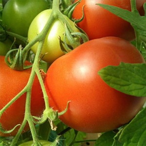 Tomate Paola F1 - Tomate grappe