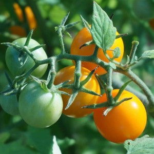 Tomate cerise Cherry Orange en plants
