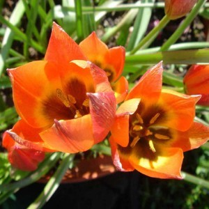 Tulipe Botanique Little Princess