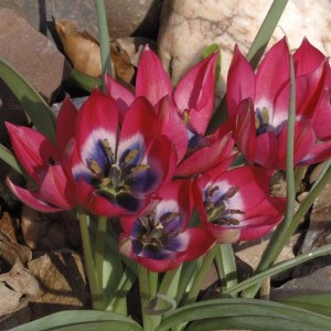 Tulipe Botanique Little Beauty