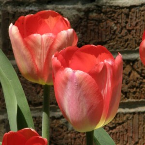 Tulipe Darwin hybride Big Chief