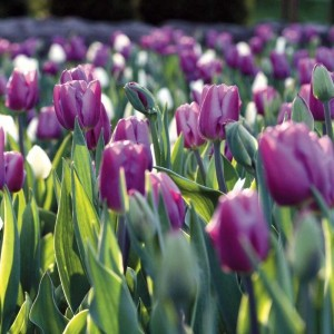 Tulipe Triomphe Holland Beauty