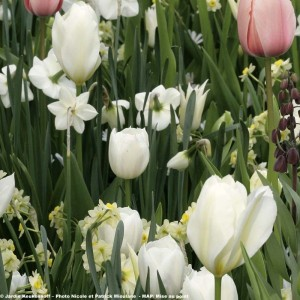 Tulipe Triomphe Inzell
